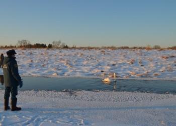 Как в Тобольске замерзающего лебедя спасали. Фото