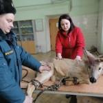 В Тобольске спасли застрявшую в заборе косулю. Фото