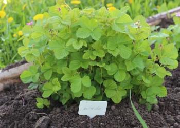 В Тобольском районе будут выращивать любимую ягоду Дмитрия Менделеева