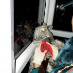 В Тобольске спасли лесную сову, застрявшую на балконе