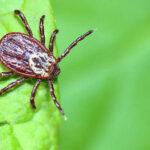 Почти 700 тоболяков пострадали от укусов клещей
